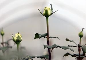 Харьков и Киев подарят Севастополю кусты роз