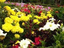 Жители Минcка ежегодно воруют около 10% цветов