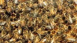 Автостраду в Юте закрыли из-за сбежавших пчел