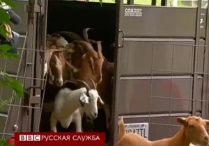 Козы выходят на работу на кладбище в США - видео