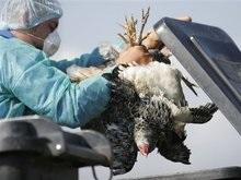 В Крыму началось уничтожение павшей птицы