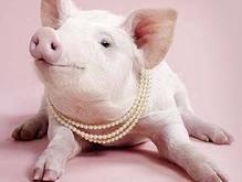 В Полтавской области поставят памятник пьяной свинье