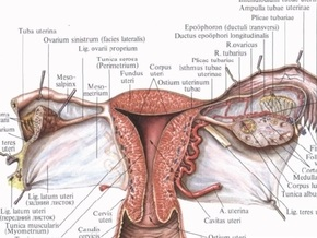 Ученые предложили выращивать стволовые клетки из тканей матки