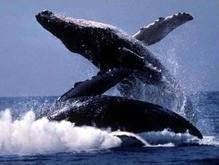 Ученые: Детеныши китов умеют разговаривать