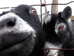 В Новой Зеландии покупателям Mitsubishi начали дарить коз