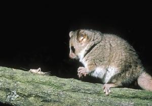 Основной инстинкт: Биологи уличили самок лемуров в многомужестве