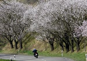 В Японии отменили фестиваль сакуры из-за Северной Кореи