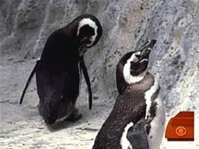Американский пингвин-гей сменил ориентацию