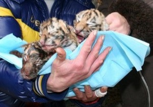 В Ялте родилась тройня уссурийских тигров