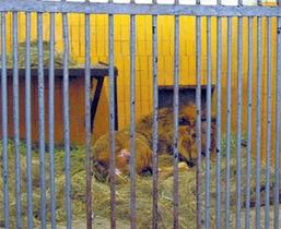 Активисты спасли из брошенного зоопарка в Северодонецке льва Симбу