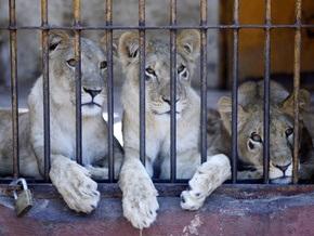 Киевский зоопарк покажет африканских львов