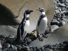 На пляжах Бразилии наблюдается нашествие пингвинов