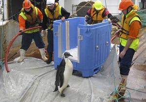 Фотогалерея: Счастливое возвращение. Найденного в Новой Зеландии пингвина выпустили в океан