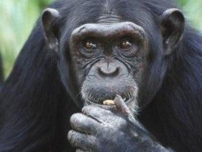 Шимпанзе способны планировать свои действия