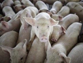 Эксперты: Свиньи не являются распространителями вируса H1N1