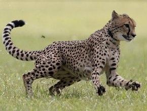 Гепард установил новый мировой рекорд на стометровке среди животных