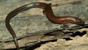Ученые обнаружили вид ящериц со сверхдлинным хвостом