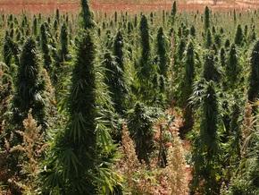 Депутаты ужесточили ответственность за выращивание конопли