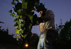 В  Гамбурге неизвестные разорили городской виноградник