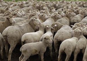 Голландская полиция разыскивает банду похитителей овец
