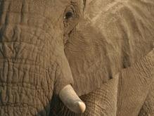 Слон-убийца затоптал четырех человек в Непале