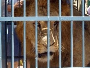 На Прикарпатье лев откусил руку пьяному мужчине