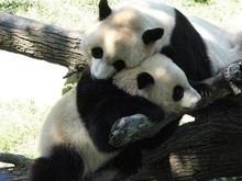 Китайские панды проходят секс-тренинги