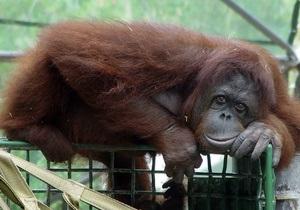 В Великобритании посадили на диету стокилограммового орангутанга