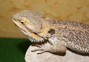 Британка потратила отложенные на свадьбу деньги на лечение домашней ящерицы