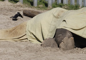 Результаты экспертизы показали, что слон Бой в Киевском зоопарке умер от истощения