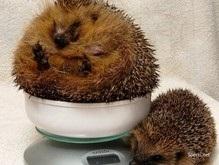 В Великобритании ежик похудел благодаря диете Аткинса