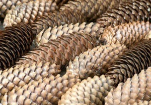 Во Франции двух мужчин будут судить за незаконный сбор сосновых шишек