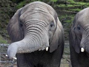 В Британии слониха подобрала губную гармошку и научилась на ней играть