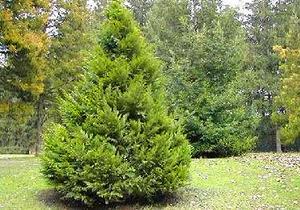 Упавшая из-за непогоды туя станет новогодним деревом Херсона
