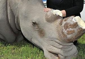 В ЮАР модель носорога пострадала от рук охотника за рогами