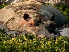 В зоопарки Николаева и Харькова привезут бегемотов из Израиля