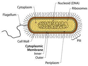 Найдена бактерия, способная производить электричество