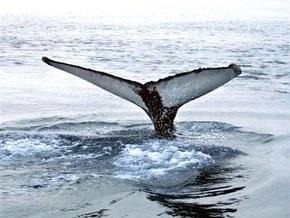 В Британии выбросившихся на берег китов будут убивать