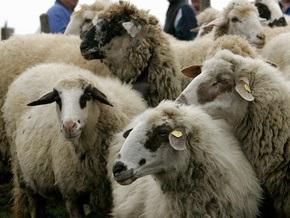 В Швейцарии овец спускали с гор на вертолетах