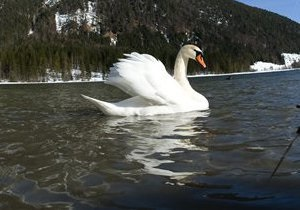 В Киевской области сотрудники МЧС спасли лебедя из ледового плена