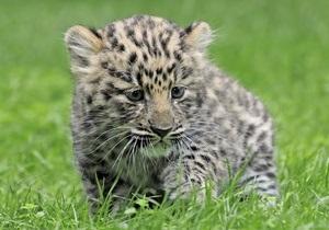 В Киевском зоопарке родился детеныш рыси