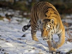 Амурская тигрица, которую пытаются поймать на севере России, обходит ловушки
