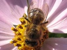Пчелы обошли млекопитающих и птиц вместе взятых