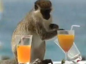 Склонность к алкоголизму определяют гены: доказано обезьянами