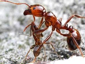 Ученые: Колония аргентинских муравьев захватила мир