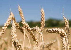 Украина собрала более 22 миллионов тонн зерна