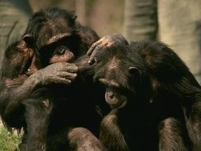 Шимпанзе делятся с самками мясом в обмен на секс