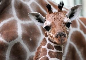 В Украине впервые родился детеныш жирафа