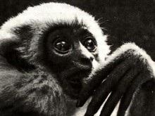 Нечеловекообразные обезьяны способны понимать значение денег