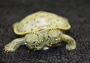 Фотогалерея: Тельма и Луиза. В зоопарке Сан-Антонио живет двухголовая черепаха